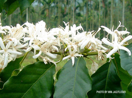 Coffee Plant Flowers