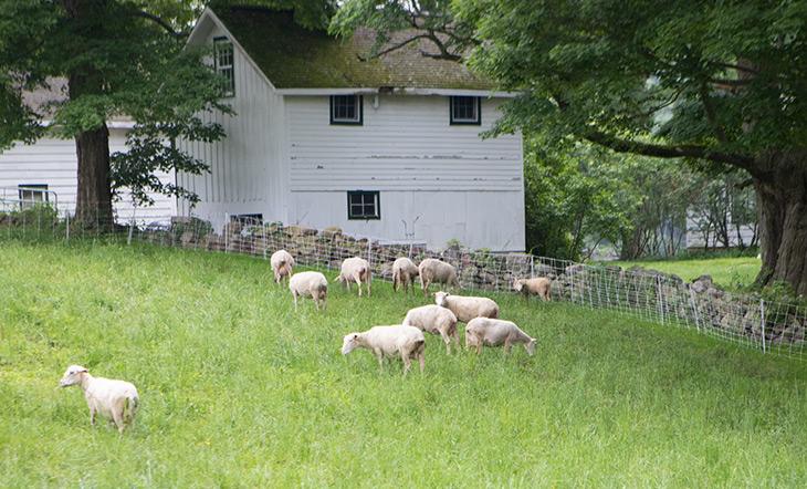 Glynwood sheep photo by Clay Williams