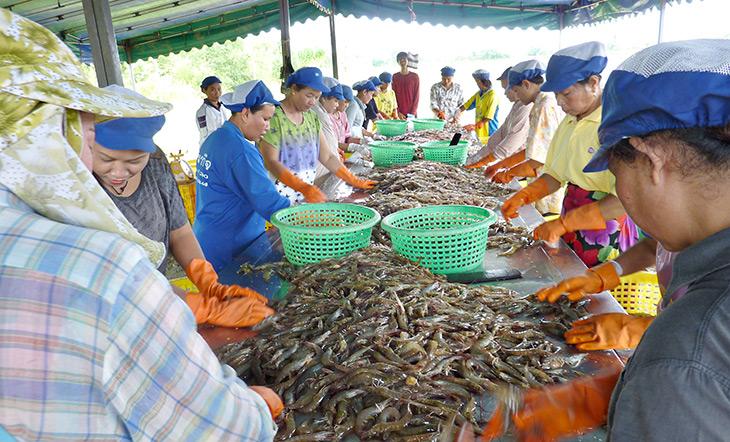 Thai women processing shrimp photo Asian Seafood Improvement Collaborative